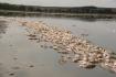 Na rybníku Nesyt skončila po šesti dnech likvidace leklých ryb