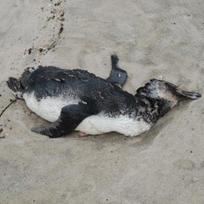 Ilustrační foto - Mrtvý tučňák - ilustrační foto.
