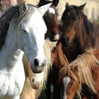 Koně - ilustrační foto.