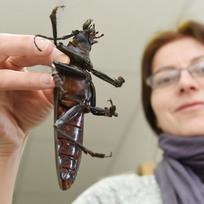 Na Katedře ekologie a životního prostředí Přírodovědecké fakulty Univerzity Palackého v Olomouci mohou studenti obdivovat živého největšího brouka světa, titána obrovského (Titanus giganteus). Odborníci ho přivezli z deštného pralesa ve Francouzské Guyaně. Unikát je dlouhý přes 15 centimetrů, váží 35 gramů. Snímek je z 9. února.