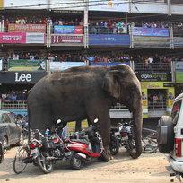 Divoký slon v ulicích indického města Siliguri.