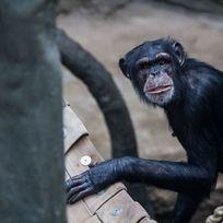 V Pavilonu evoluce ostravské zoologické zahrady se zabydlují tři nové šimpanzí samice, které zahrada získala z německé Zoo Lipsko. Snímek z 5. února.