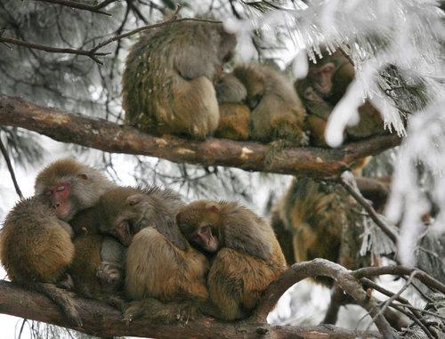 Opičky makakové se k sobě choulí zimou na větvích zmrzlého stromu v parku Čchien-ling v jihozápadní Číně. - ilustrační foto