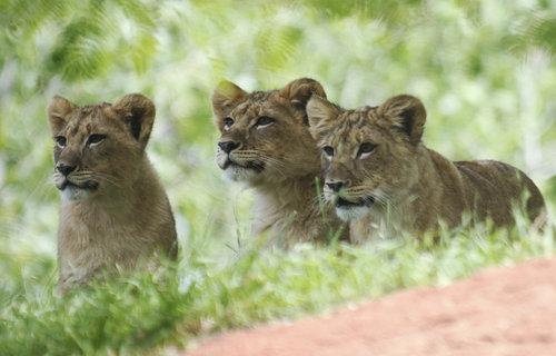 Tři lvíčata vyhlížejí svého čtvrtého sourozence v zoologické zahradě v Oklahoma City.