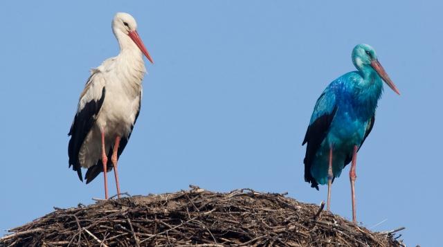 Ani krajně nekonvenční vzezření neznemožnilo modře až tyrkysově zbarvenému čápovi z východoněmecké obce Briesen najít si partnerku.