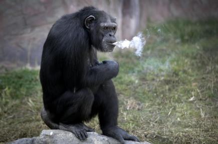 Kouřící šimpanz Azalea v zoo v severokorejském Pchjongjangu.
