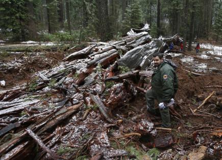Při silném vichru spadla v národním parku Calaveras i slavná sekvoje. Strom, u jehož paty byl vyřezán tunel dostatečně velký na to, aby pod ním prošel člověk nebo projelo auto, byl stejně jako další sekvoje v parku velkou turistickou atrakcí v pohoří Sierra Nevada. Stáří sekvoje s kmenem o průměru deset metrů nebylo známo, ale odhadovalo se na 1000 let. Strážci parku se domnívají, že k pádu stromu přispěly i mělké kořeny. Snímek z května 2015.