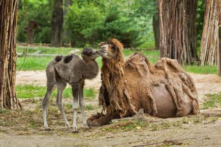 V brněnské zoo přišel před několika dny na svět sameček velblouda dvouhrbého (na snímku ze 17. června společně s matkou Bellou). Zoo Brno chová domestikovanou formu velblouda dvouhrbého, který zdomácněl přibližně před 4500 lety a na světě jich žije asi 1,5 milionu.