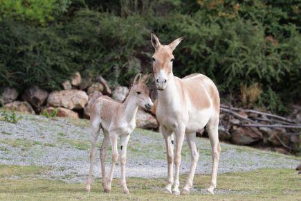 V plzeňské zoo se narodilo mládě turkmenského divokého osla kulana (na snímku z 30. června s matkou). V současnosti jde o jediný chov v Česku. V Evropě je chová 30 zoologických zahrad.