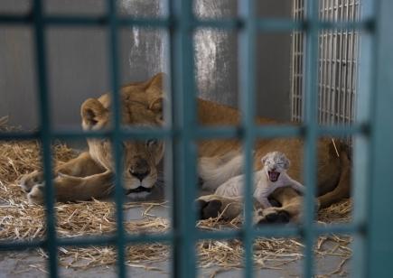 Lvice zachráněná spolu s dalšími 12 zvířaty ze zoologické zahrady v syrském Halabu porodila po vypuštění v rezervaci v Jordánsku mládě.