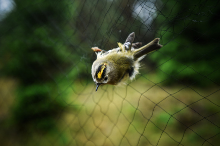 Ornitologové v těchto dnech chytají, měří a kroužkují opeřence v Jizerských horách. Kolem osady Jizerka to dělají pravidelně v polovině září už od roku 2004, při týdenní akci sledují migraci ptáků. Na snímku z 20. září je králíček obecný.
