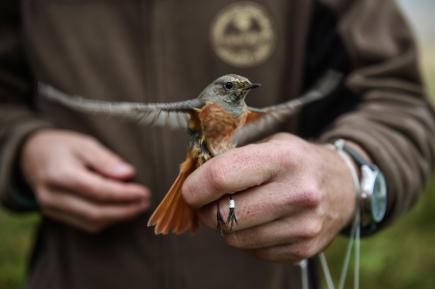 Ornitologové v těchto dnech chytají, měří a kroužkují opeřence v Jizerských horách. Kolem osady Jizerka to dělají pravidelně v polovině září už od roku 2004, při týdenní akci sledují migraci ptáků. Na snímku z 20. září je rehek zahradní.