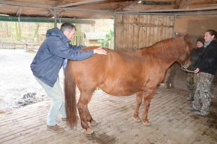 Děčínská zoologická zahrada povolala na pomoc koním chiropraktika Stuarta Brocka (na snímku ze 7. listopadu), který pochází z Velké Británie, kde vybudoval chiropraktickou kliniku blízko Oxfordu. Nedávno se rozhodl rozšířit pole působnosti i v České republice. Klisny v zoo trápí problémy s pohybovým aparátem a masáž jim podle ošetřovatelky hodně ulevila.