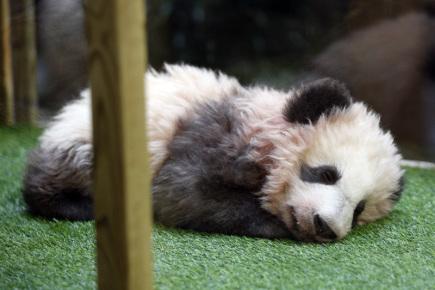Pandí mládě narozené v zoologické zahradě Beauval ve Francii.