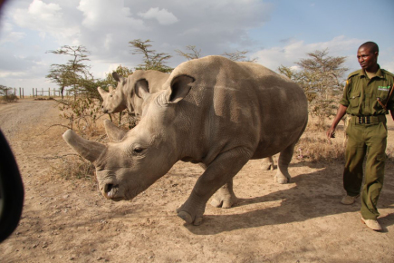 Na snímku z 10. července 2017 jsou samice nosorožce severního bílého Nájin a Fatu v keňské rezervaci Ol Pejeta.
