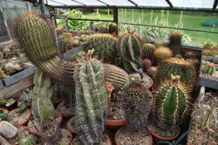 Přes půlstoletí pěstuje v Českých Budějovicích kaktusy a sukulenty Petr Říha, jenž má i 240 let starou rostlinu (největší na snímku z 9. červnece), kterou vlastnil cestovatel Alberto Vojtěch Frič.