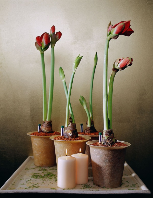 Уход за амариллисом в домашних условиях после цветения