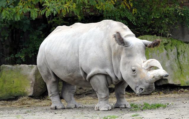 Malditos humanos prácticamente nos han extinguido. Rinoceronte Blanco del Norte. 1438075322_P201507280304001