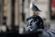 Racek odpočívá na hlavě sochy, která zdobí kašnu na Trafalgarském náměstí v Londýně.