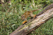 Ve zlínské zoologické zahradě se narodilo pět mláďat opiček kotulů veverovitých. Na snímku z 8. září je samice s mládětem na zádech. Kotul je menší žlutohnědá opička, pro návštěvníky zoo je atraktivní svou činorodostí. Zlínská zahrada je chová od roku 1999.