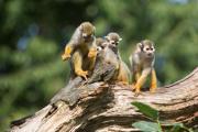 Ve zlínské zoologické zahradě se narodilo pět mláďat opiček kotulů veverovitých. Kotul je menší žlutohnědá opička, pro návštěvníky zoo je atraktivní svou činorodostí. Zlínská zahrada je chová od roku 1999. Na snímku z 8. září je skupina kotulů, uprostřed samice s mládětem na zádech.