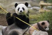První mládě pandy narozené ve Francii získalo první obdivovatele. Veřejnost měla možnost vidět pětiměsíční pandu, kterou pokřtila první dáma.