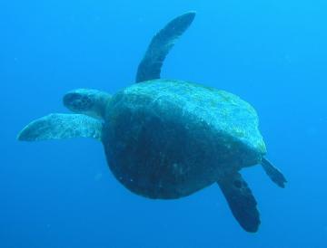 http://i3.cn.cz/3/1118319299_turtleatseaGalapagos.jpg