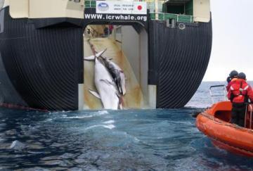 Austrálie dnes zveřejnila snímky úlovků japonské velrybářské lodi, na nichž je podle Australanů vidět tělo krvácející velryby s mládětem vtahované lany na palubu plavidla.