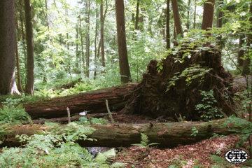 Prales v národní přírodní rezervaci.