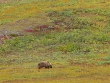Medvěd v národním parku Gates of the Arctic.