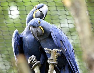 Zlínská zoo představila 10. července 2018 největší ptačí voliéru v ČR. Návštěvníci v ní uvidí více než dvacítku exotických ptáků včetně největších papoušků světa, ary hyacintového (na snímku), ary arakangy a ary vojenského.