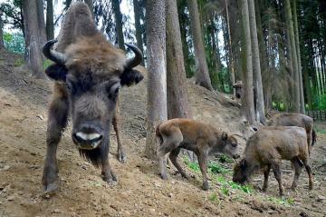 V táborské zoologické zahradě se narodilo mládě zubra evropského. Zoo tak má šest kusů tohoto ohroženého druhu. Loni na podzim se stádu pocházejícího z Polska a Německa narodil samec se jménem Tábor a teď přišla na svět samička Tara (uprostřed). ČTK to 13. července řekl mluvčí zoologické zahrady Filip Sušanka.