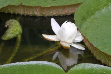 Tropický leknín Victoria cruziana, který je největším druhem leknínu na světě, po roce 20. července 2018 rozkvetl ve sbírkovém skleníku Výstaviště Flora v Olomouci. Pohledem na velký bílý květ se návštěvníci budou moci pokochat pouze několik hodin, jelikož ještě dnes se uzavře. V příštích dnech by ale měla rozkvést další poupata.