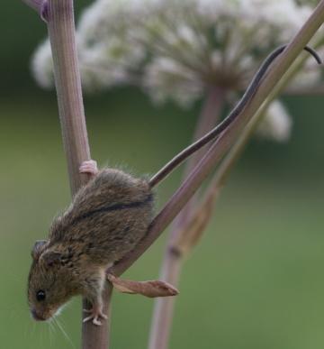Myšivka horská (autor: Jeroen van der Kooij)