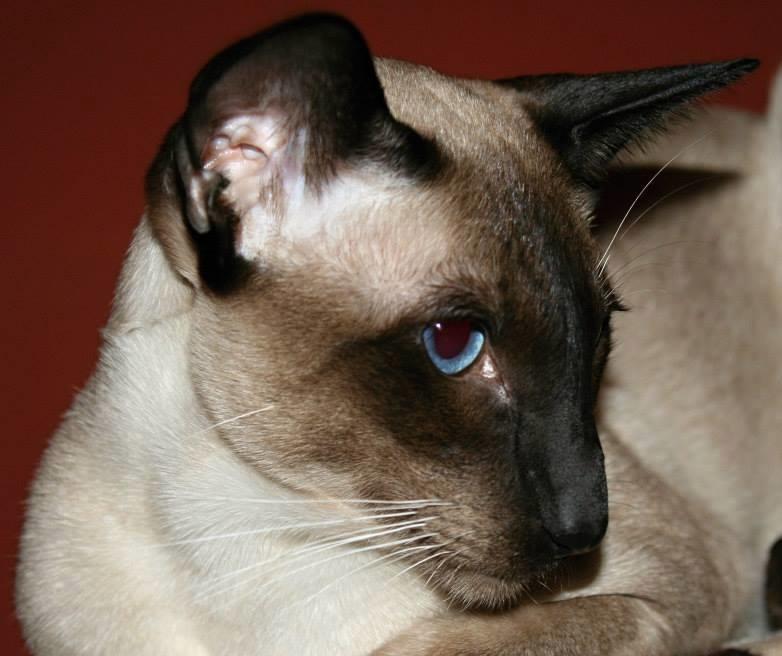 Virus FIP doposud nebyl zaznamenán u jiných druhů, pouze u zvířat z rodu kočkovitých.