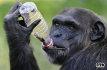 Ilustrační foto - Pracovníci plzeňské zoo připravili 3. července zvláštní pochoutku pro místní skupinu šimpanzů. V plastových lahvích jim předali borůvky, které nasbíraly děti z příměstského tábora zoologické zahrady při výletě na kopec Krkavec. Lidoopi si lahve sami otevřeli a obsah vysáli do poslední borůvky.