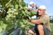 První letošní hrozny určené ke zpracování na burčák začali 10. srpna 2021 ráno sklízet ve vinohradu u Dolních Dunajovic na Břeclavsku.