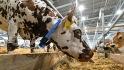Na brněnském výstavišti začal 5. září 2021 veletrhpro živočišnou výrobu Animal Tech s Národní výstavou hospodářských zvířat. Na snímku je kráva normandského plemene.