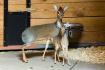 V pavilonu Africký dům v pražské zoologické zahradě mohou návštěvníci pozorovat mládě nejmenší antilopy na světě. Dikdik Kirkův (na snímku ze 2. září 2021) se v pražské zoo narodil vůbec poprvé.