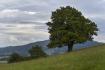 Dub letní zvaný Dubisko valašisko tvrdé (na snímku z 16. září 2021) na kopci Strážnice u obce Kozlovice-Měrkovice na Frýdecko-Místecku se dostal v anketě Strom roku do finále.