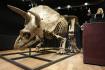 Fosilie triceratopse, která se 21. října 2021 v pařížské aukční síni Druot  vydražila za 5,5 milionu eur.