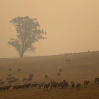 Ilustrační foto - Ovce se pasou na pláni zahalené dýmem z lesních požárů.