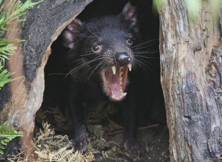 Zoo Praha v březnu otevře expozici věnovanou Tasmánii a Austrálii