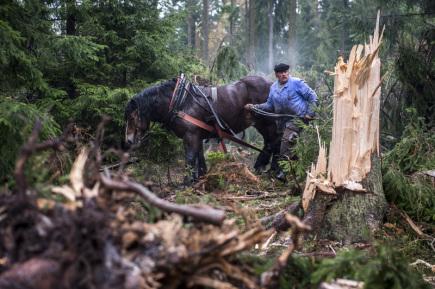 Vichřice Herwart na území Krkonošského národního parku (KRNAP) poničila přes 10.000 metrů krychlových dřeva. Kdy likvidace škod skončí, nelze zatím odhadnout. Například nad Dolním Dvorem u Vrchlabí v nadmořské výšce okolo 900 metrů pracovala 2. listopadu v lese skupina horalů a koní. Stahovali v obtížně přístupném horském terénu popadané kmeny stromů do míst, odkud je může odvézt kamion.