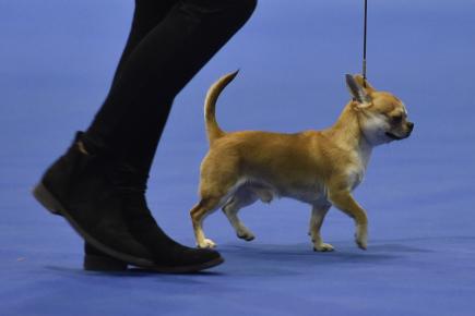 Na brněnském výstavišti končil 14. ledna 2018 třináctý ročník Hanácké národní výstavy psů všech plemen. Na snímku vítěz druhého dne, krátkosrstá čivava.
