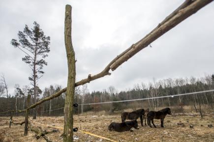 Dvě skupiny divokých koní, které byly před měsícem převezeny ze středočeských Milovic do lokality Plachta v Hradci Králové a na Josefovské louky u Jaroměře, dostaly větší výběhy. Čtyři koně na přírodní památce Plachta (na snímku) byli 17. února vypuštěni z dosavadní asi půlhektarové aklimatizační ohrady do výběhu o rozloze kolem 1,5 hektaru.