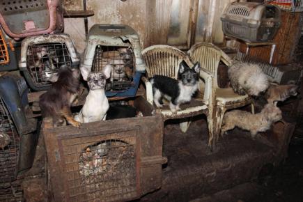 Kvůli týrání psů v Kamenici nad Lipou obvinili kriminalisté muže a ženu. Při domovní prohlídce (na snímku) 31. ledna našli policisté s veterináři v jejich domě přes 200 psů malých plemen.