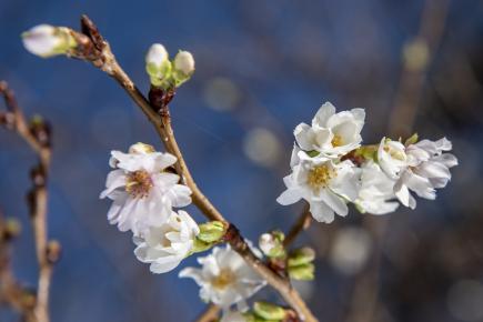 AFP  Předpověď rozkvětu sakury je v Japonsku vážné poslání 43239cad9f