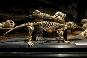 V areálu zoologické zahrady ve Dvoře Králové nad Labem byla 13. března 2018 otevřena nová expozice Umění pod kůží aneb krása kosti. Na snímku je kostra ptakopyska podivného.