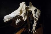 V areálu zoologické zahrady ve Dvoře Králové nad Labem byla 13. března 2018 otevřena nová expozice Umění pod kůží aneb krása kosti. Na snímku je skelet samice Nabiré, která byla jedním z posledních nosorožců bílých severních na světě. Nabiré uhynula na následky prasklé cysty ve Dvoře Králové v červenci 2015.